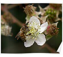 Honey Bee on White Flower Poster
