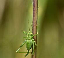 Speckled Bush Cricket by Sue Robinson