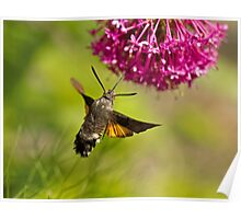 Hummingbird Hawk-moth Poster