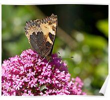 Small Tortoiseshell butterfly Poster
