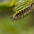 Vapourer Moth Caterpillar by Sue Robinson
