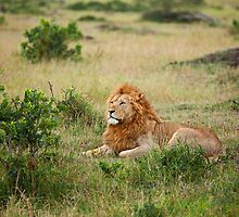 Lion on the Masai Mara by Sue Robinson