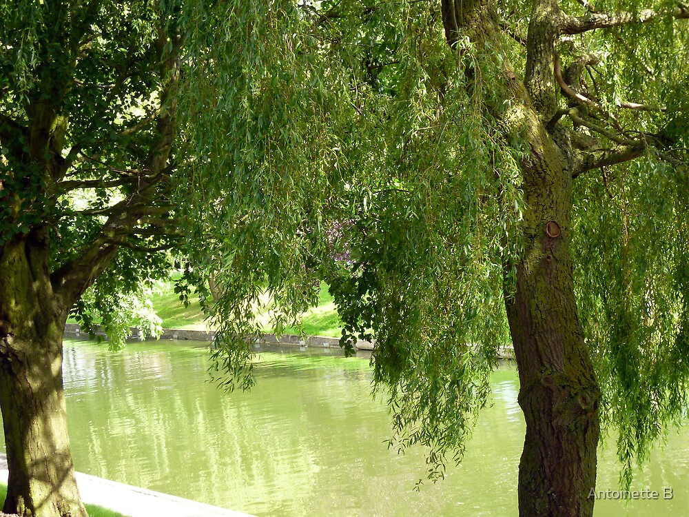 Willow trees by Antoinette B