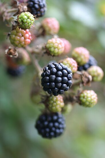 Blackberries by marens