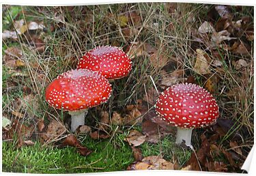 A Closer Look to Three Amanita muscaria by Jo Nijenhuis