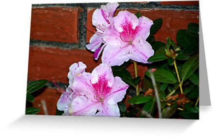 Azalea Blooming By The Brick Wall by BamaBruce69