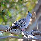 Crested Pigeon At Cedar Creek, Queensland, Australia. by Ralph de Zilva