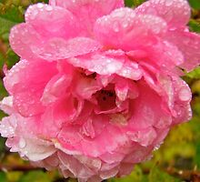 Wet Rose by Shulie1