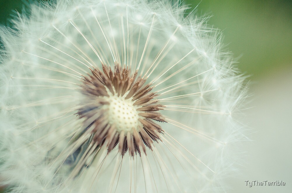 Red Seeded Dandelion by TyTheTerrible
