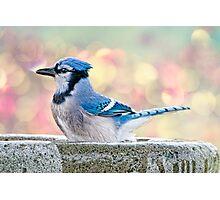 Bathing Blue Jay Photographic Print