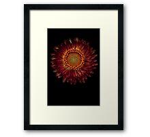A strawflower Framed Print