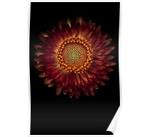 A strawflower Poster
