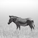 Grevy's Zebra (Equus grevyi) by Neville Jones