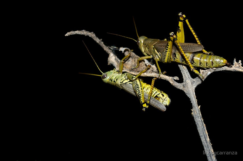 Two Grasshoppers by lindsycarranza