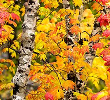Glorious Maple Trees by Jim Stiles