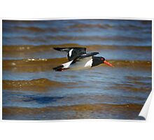 Pied Oyster Catcher on the wing Poster