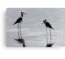 Black-winged Stilt Canvas Print