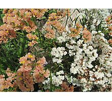 Different shades of 'Statice'_limonium_  in the garden bed, Arilka. S.A. Photographic Print