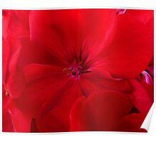 Inside A Geranium Flower Poster