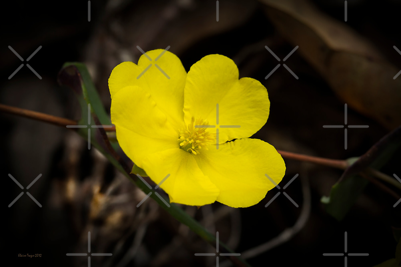 Guinea Flower (Hibbertia) by Elaine Teague