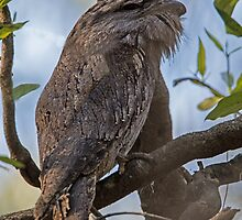 Tawny Frogmouth by JayWolfImages