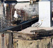 Scarborough Seagulls by Richard Flint