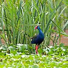 Purple Swamphen by Sue Robinson