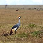 Grey Crowned Crane on the Masai Mara by Sue Robinson