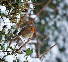 European Robin on hedge in snow by Sue Robinson