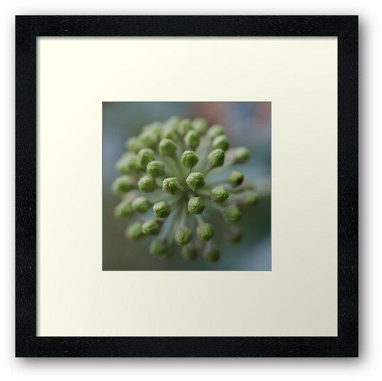 Ivy Flower Buds by marens