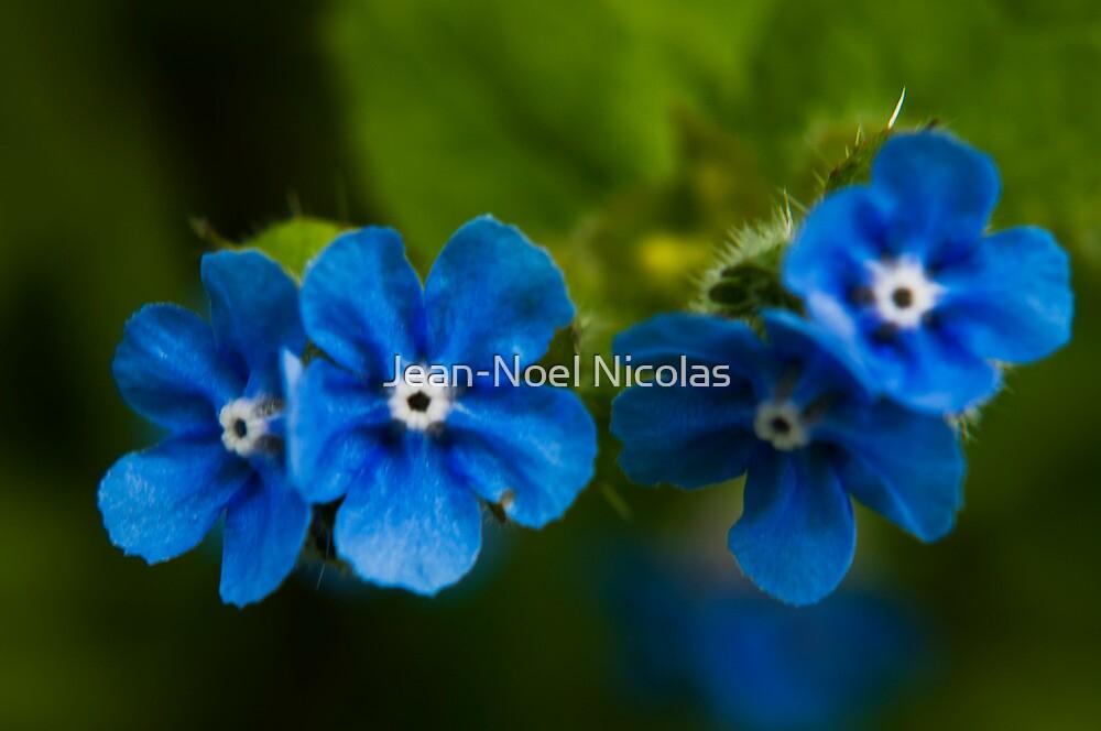 Salix Eugenes by Jean-Noel Nicolas