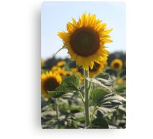 South Carolina Sunflower Canvas Print