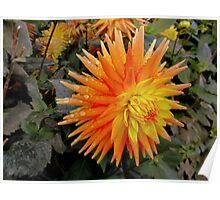 Orange spikes - dahlia Poster