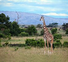Giraffe on the Masai Mara by Sue Robinson