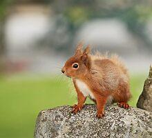 Red Squirrel on Rock by Sue Robinson