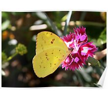 Butterfly sulphur Poster