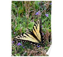 Tiger Swallowtail in grass Poster