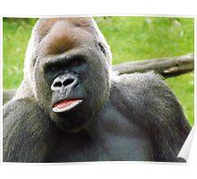 Male Silverback Lowland Gorilla at Kansas City Zoo 3 Poster