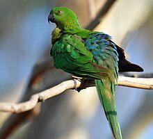 Female King Parrot At Cedar Creek. Queensland, Australia. by Ralph de Zilva