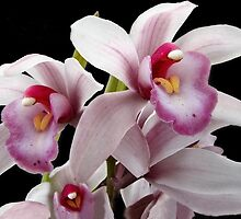 Orchid Family Tree? by Ellen Cotton