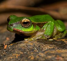 Cascade Tree Frog by D Byrne