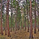 ponderosa trail by Bruce  Dickson