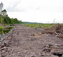 Young palm oil plant pulled from the ground.  by Orangutans