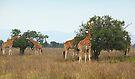 Rothschild's Giraffes Feeding, Lake nakuru, Kenya by Carole-Anne