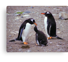 Gentoo Penguin Family Feeding Chick Canvas Print