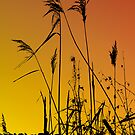 Silhouette Grasses, Holkham by Norfolkimages