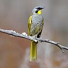 Yellow-throated Honeyeater_Peter Murrell Reserve_Tasmania_1 by Alwyn Simple