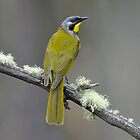 Yellow-throated Honeyeater_Peter Murrell Reserve_Tasmania_2 by Alwyn Simple