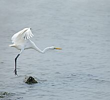 Great White Egret taking off by Sue Robinson