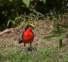 Yellow-crowned Gonolek by Sue Robinson
